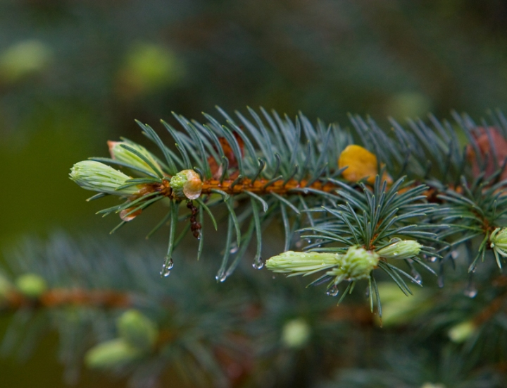 Water Drops on a Spruce